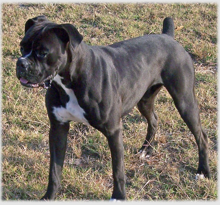 Black Boxer Dogs for Sale