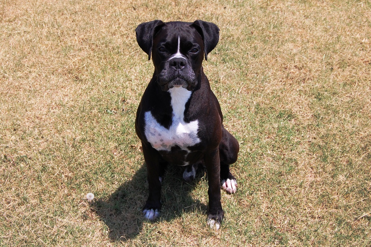 Black Boxers are also referred as Sealed or Reverse Brindle by many, Several years ago AKC registered the Black looking Boxers as Black, White and Tan. This Code was removed by AKC from the Puppy Application Form as requested by the American Boxer Kennel Club.