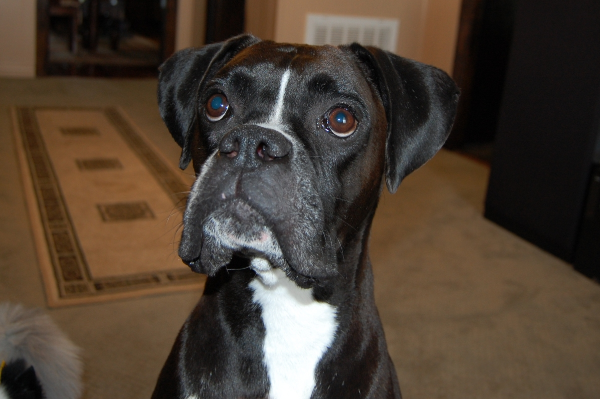 akc black boxer champion boxer puppy for sale in texas boxer breeder black boxer puppy