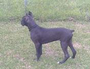 AKC Black Boxer Champion Boxer Puppy For Sale In Texas Boxer Breeder